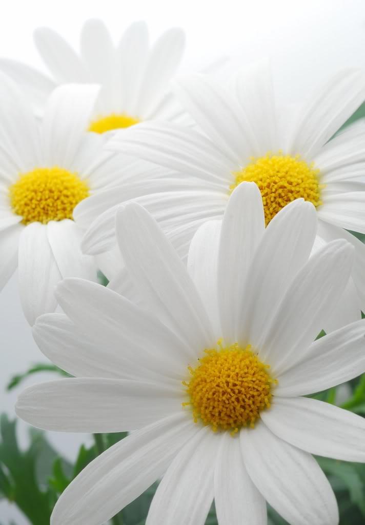 Sự tích hoa cúc tây Hoa-cu10