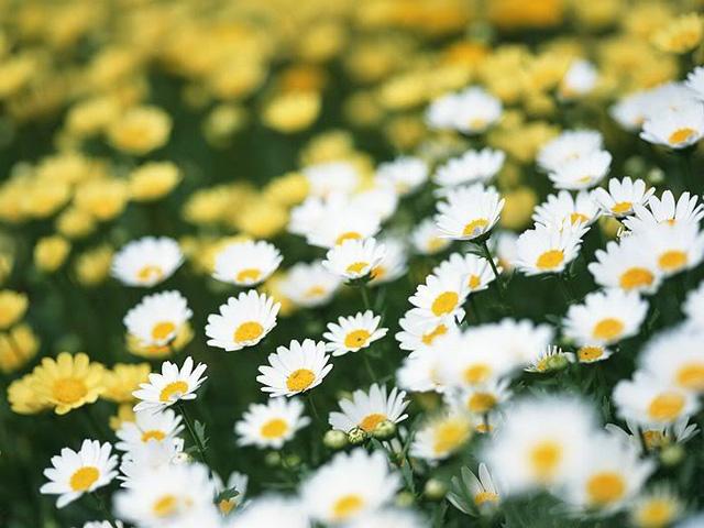 Sự tích hoa cúc tây Hoa-cu12