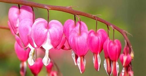 10 loài hoa được mệnh danh là đẹp nhất thế giới Hoa-de13