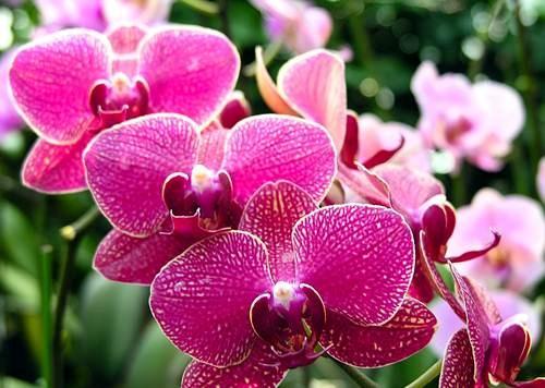 10 loài hoa được mệnh danh là đẹp nhất thế giới Hoa-de15