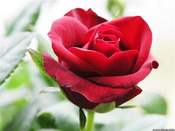 10 loài hoa được mệnh danh là đẹp nhất thế giới Hoa-de16