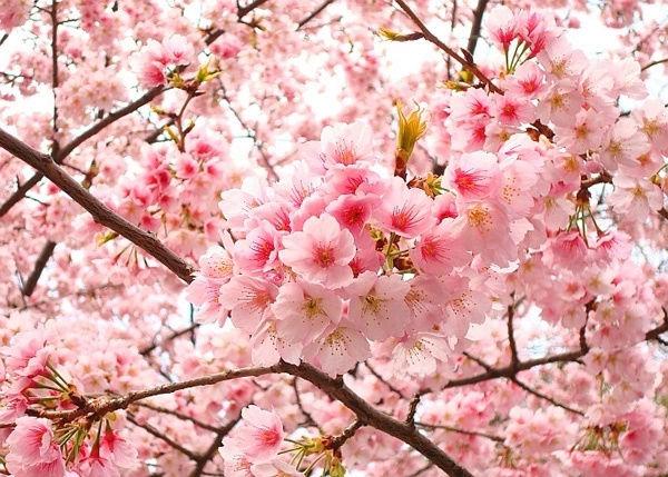 10 loài hoa được mệnh danh là đẹp nhất thế giới Hoa-de17