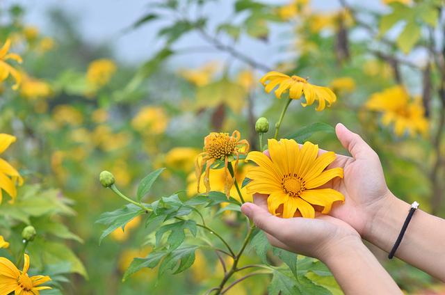 Sự tích hoa dã quỳ Thienl11