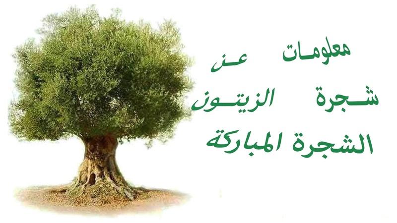 اهم معلومات شجرة الزيتون 3110
