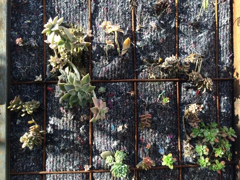 Mon mur végétal de succulentes Img_6312