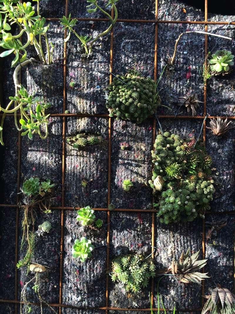 Mon mur végétal de succulentes Img_6315