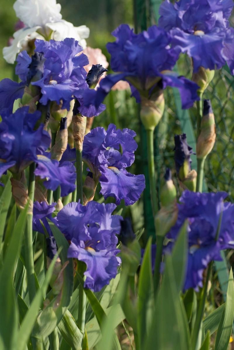 Iris 'Blue Suede Shoes' - Schreiner 1996 Blue_s10