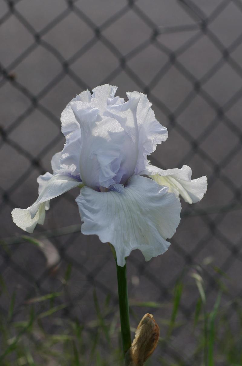 Iris 'Cape Horn' - Monty Byers 1989 Cape_h10