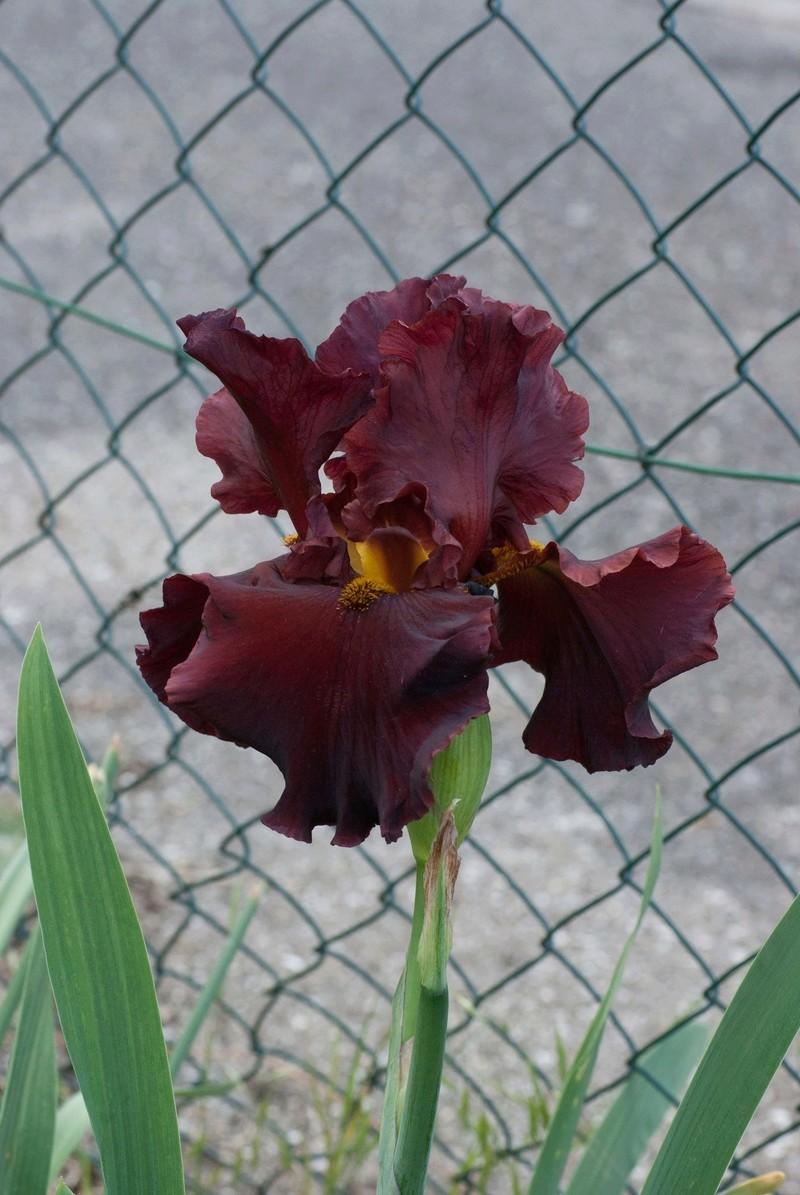 Iris 'Dynamite' - Schreiner 1997 Dynami12