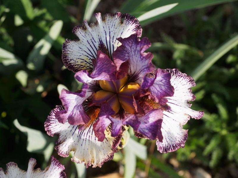Iris 'Apollo One' - Sutton 1995 Iris-410