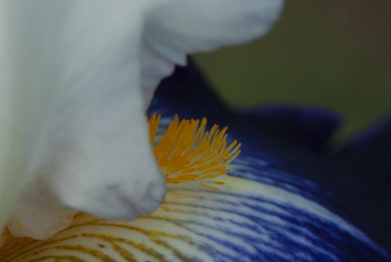 Iris 'Noctambule' - Cayeux 2006 Noctam11