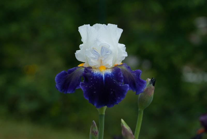 Iris 'Noctambule' - Cayeux 2006 Noctam12