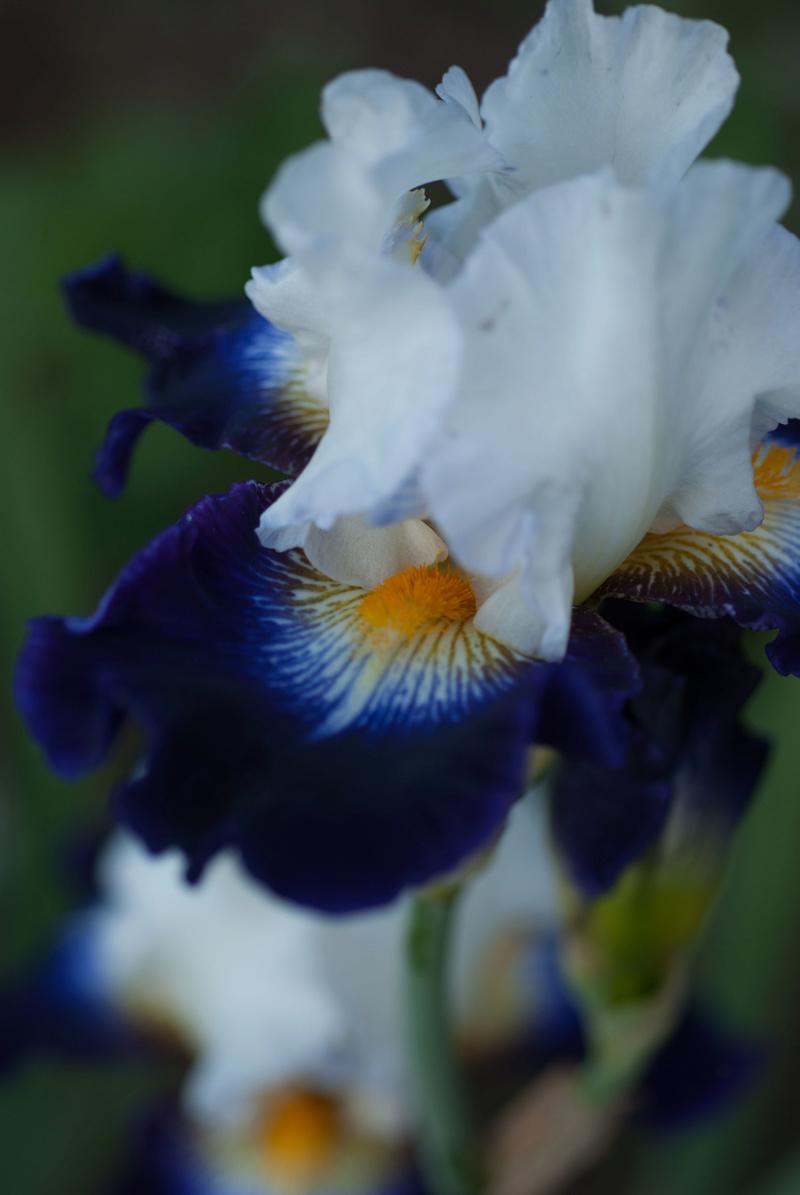Iris 'Noctambule' - Cayeux 2006 Noctam13