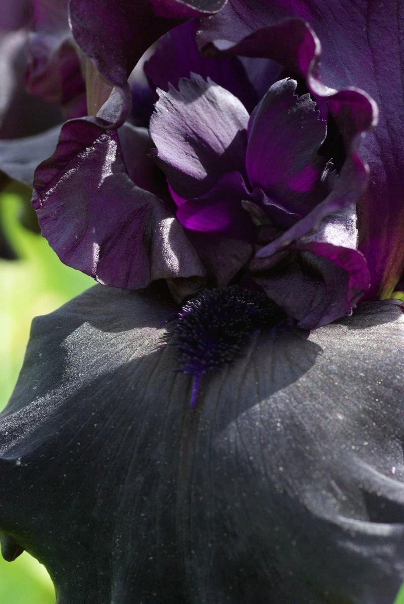 Iris 'Raven Girl' - Schreiner 2008 Raven_15