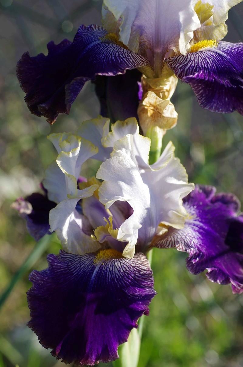 Iris 'Slovak Prince' - Anton Mego 2002 Slovak12