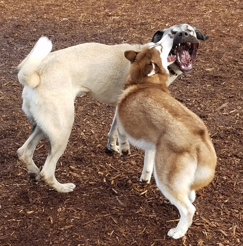 8 month old suddenly fighting at the dog park Lach_w10