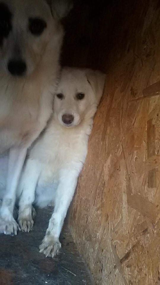 MARLIN, F-X Labrador, né ??? (TAMARA FOURRIERE) Prise en charge La Ferme des Rescapés 26993810