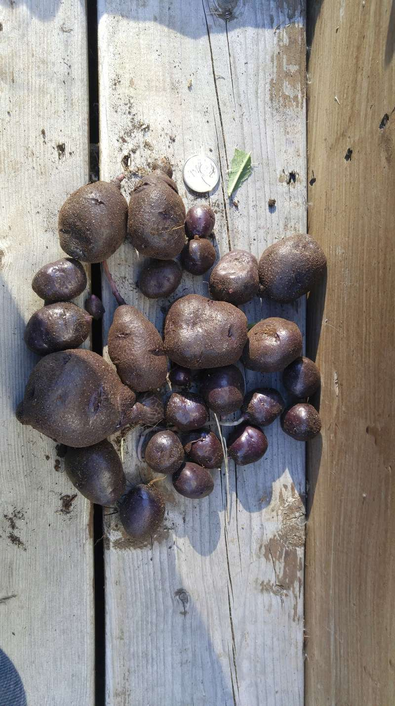 Potato growing - Page 3 20171010