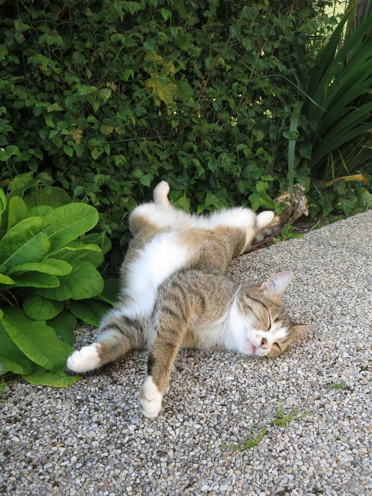 MALIKI, chatte européenne tigrée & blanche, née en mai 2016. Sieste10