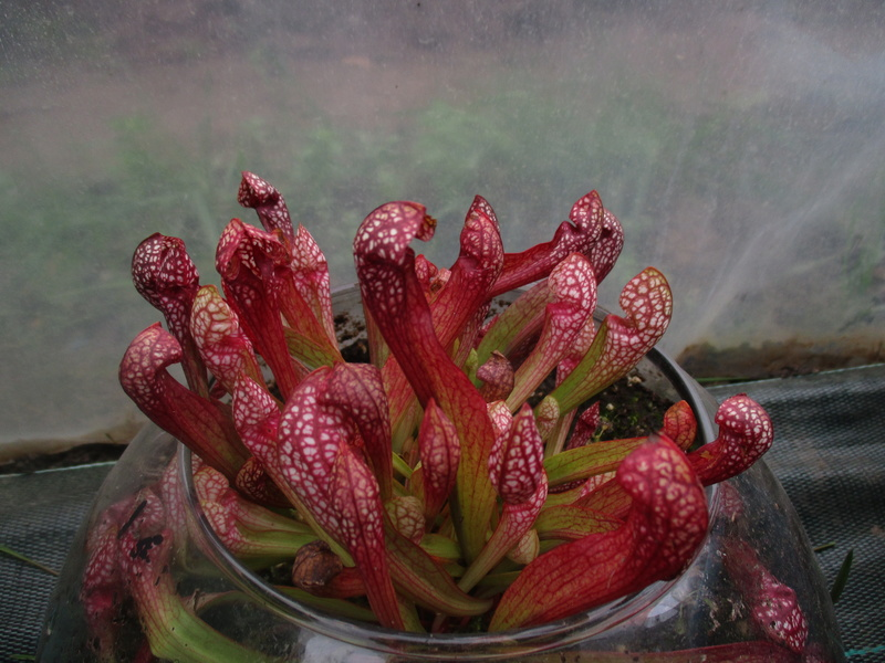 Culture sarracenia wrigleyana Img_0413