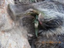 Guérison ou pas sur patte arrière de chevreuil Dscn0910