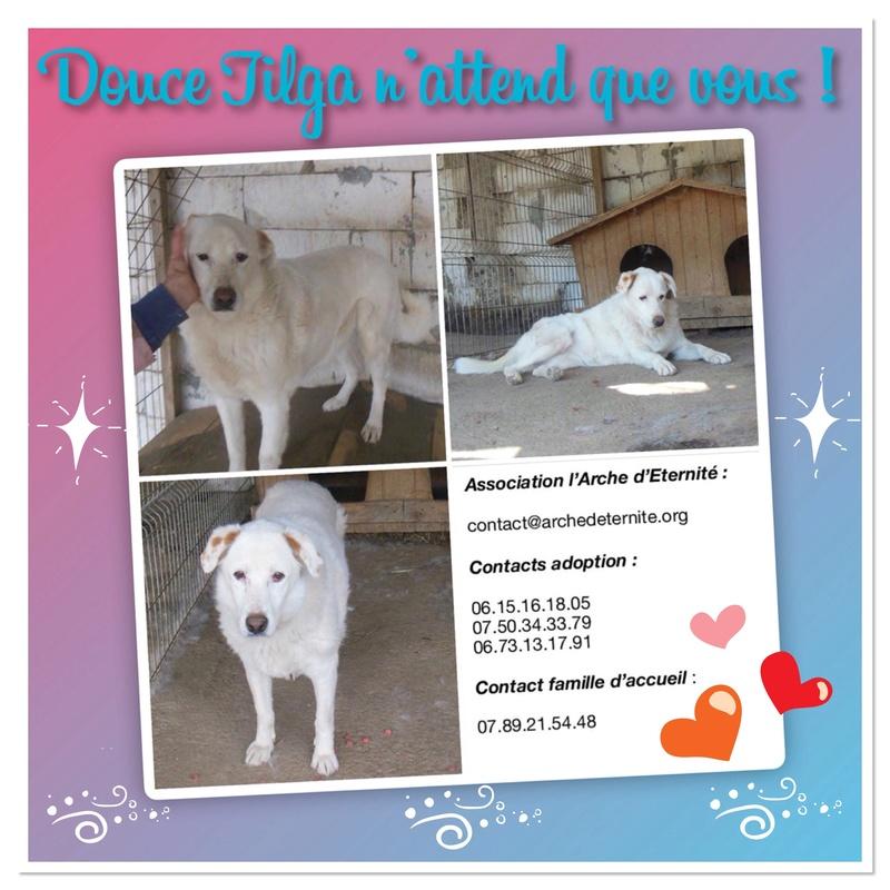 TILGA - x labrador blanc 8 ans   (4 ans de refuge) - Asso Arche d'Eternité - Lenuta (Roumanie)  07ae3c10