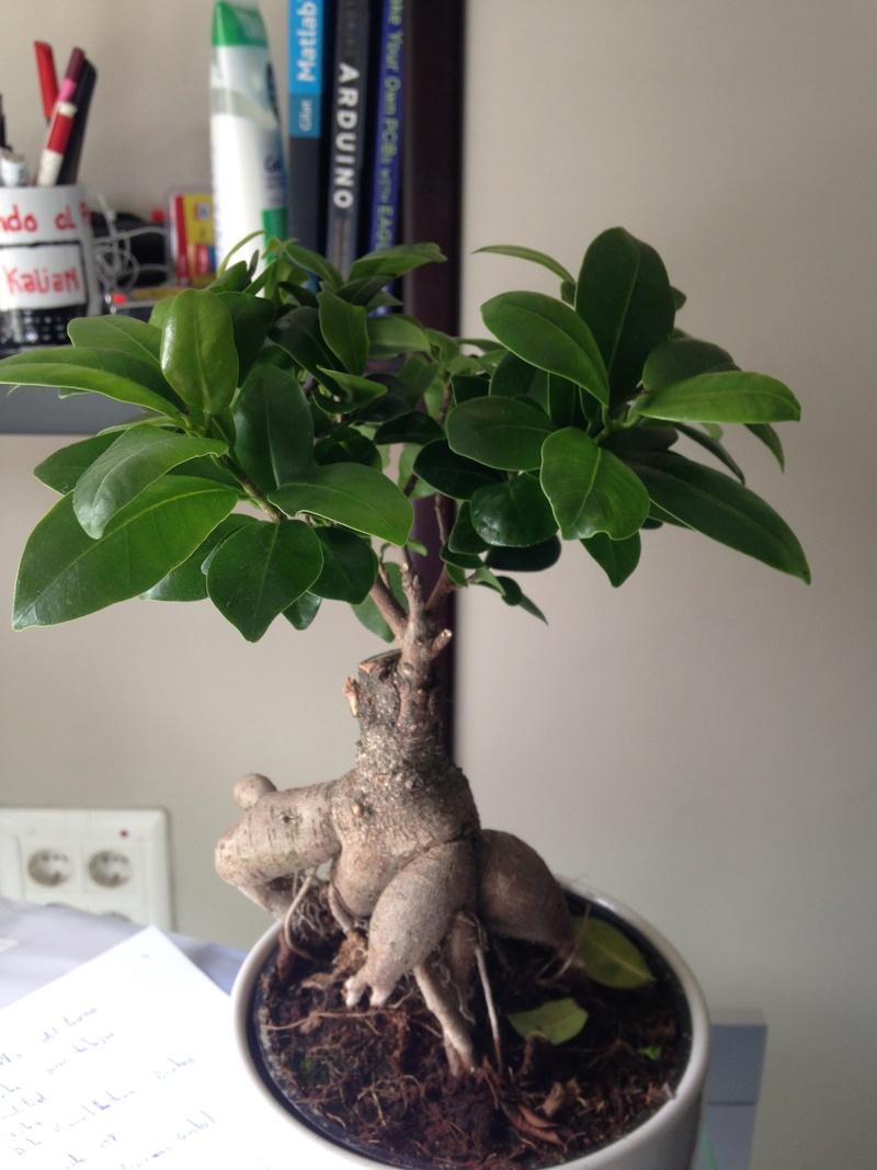 Ficus ginseng o retusa de ikea Img_2810