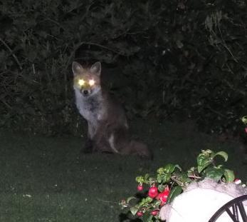 Animals - News & General Fox_210