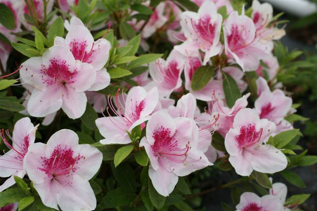 Fleurs de saison - Page 17 Azalea10