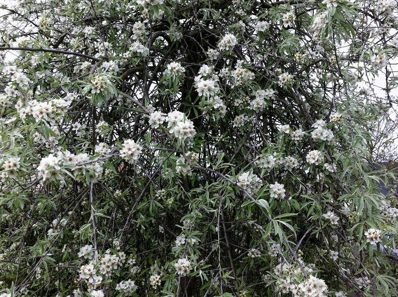 Fleurs de saison - Page 6 Poirie11