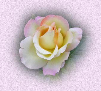 Fleurs de saison - Page 14 Rose_t10
