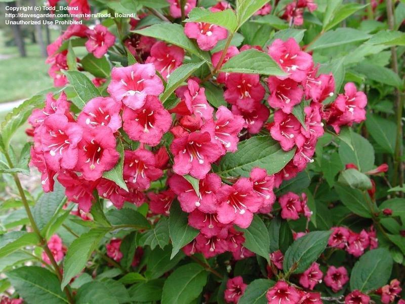 Fleurs de saison - Page 14 Weigel10