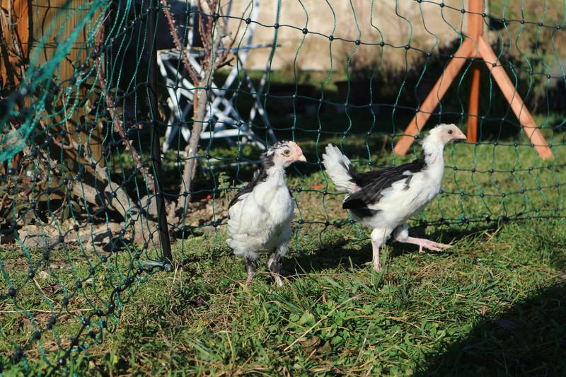 Les poussins de Manicotte grandissent Img_0220