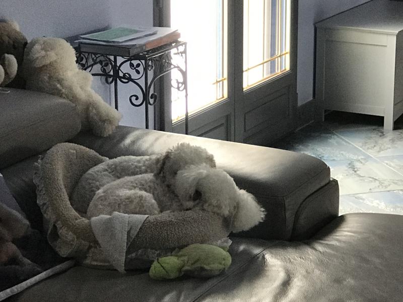 FRIMOUSSE, coquine Bichon Frisé de 6 ans, réformée d'élevage - Page 4 Img_3523