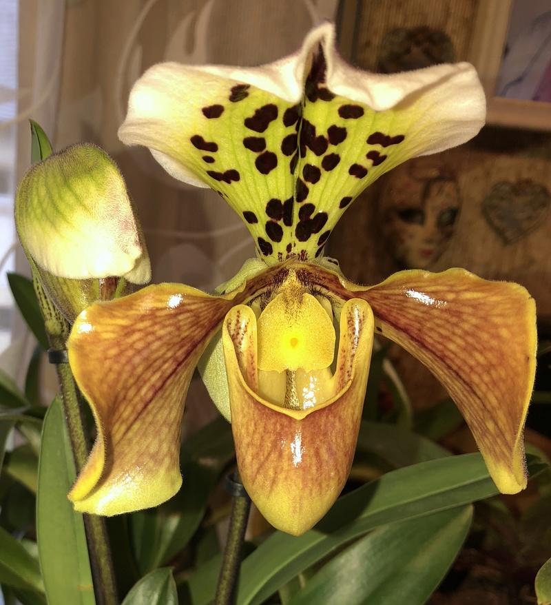 Orchideen-Neuzugang - Seite 39 Paphio13