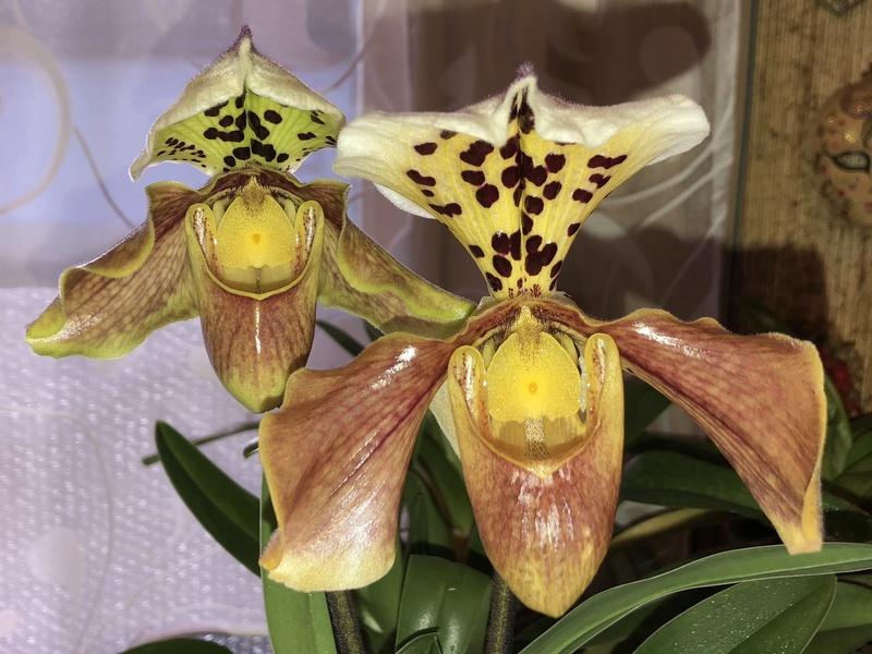 Orchideen-Neuzugang - Seite 39 Paphio14