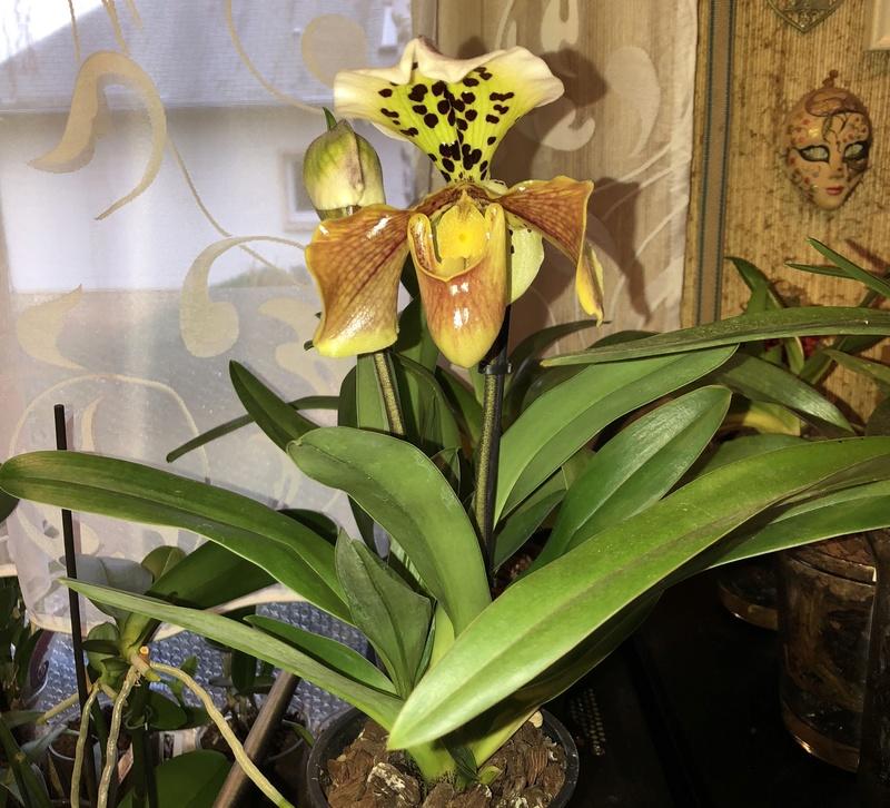 Orchideen-Neuzugang - Seite 39 Paphio15
