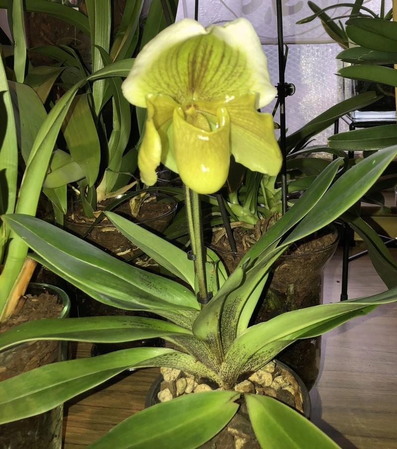 Orchideen-Neuzugang - Seite 39 Paphio16