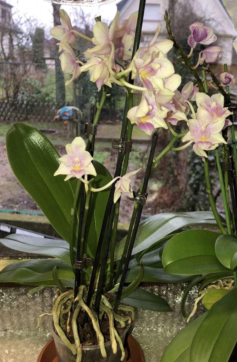 Orchideen-Neuzugang - Seite 40 Phal_p11