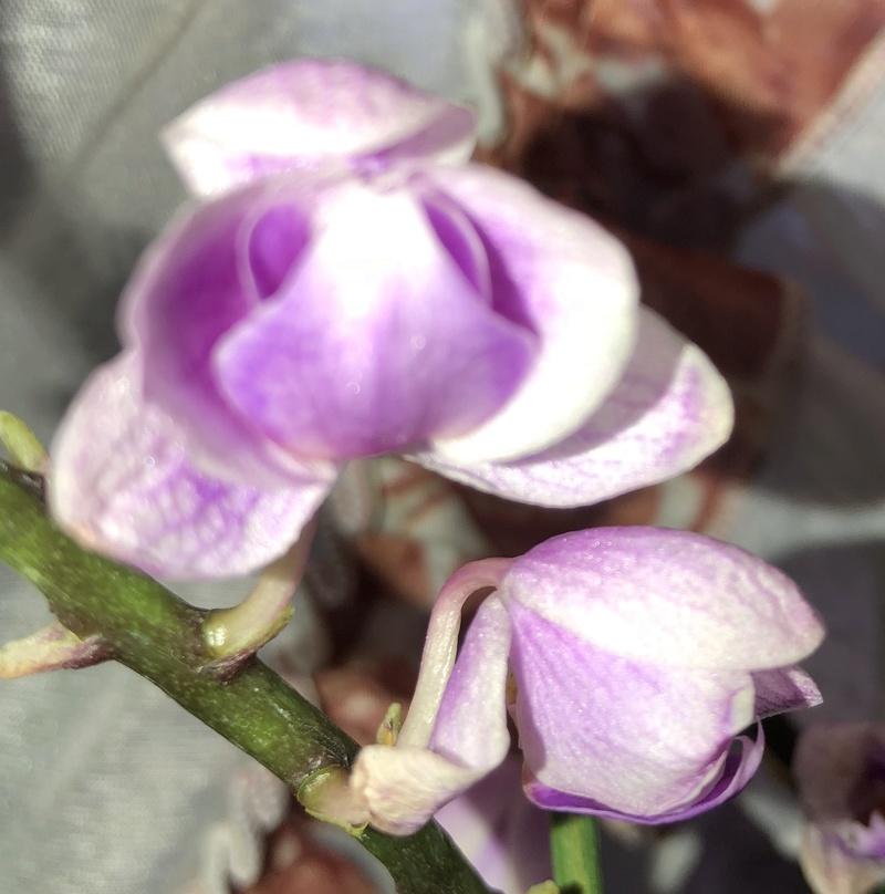 Orchideen-Neuzugang - Seite 40 Phal_p12