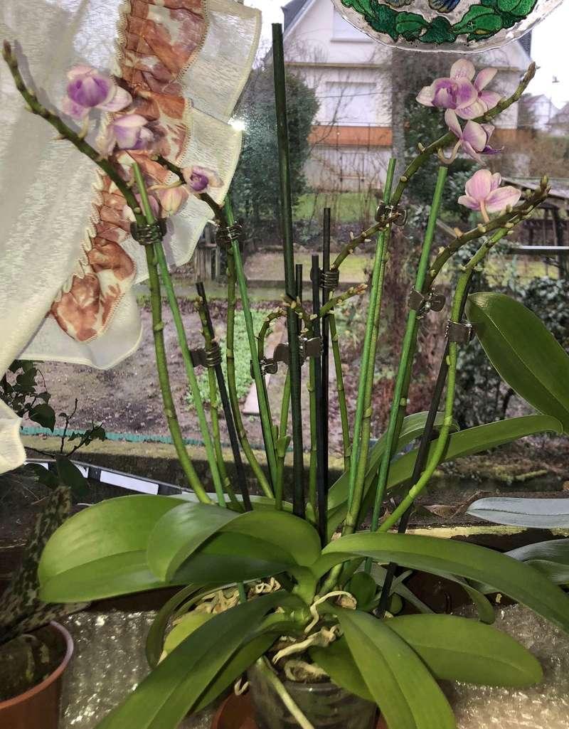 Orchideen-Neuzugang - Seite 40 Phal_p13