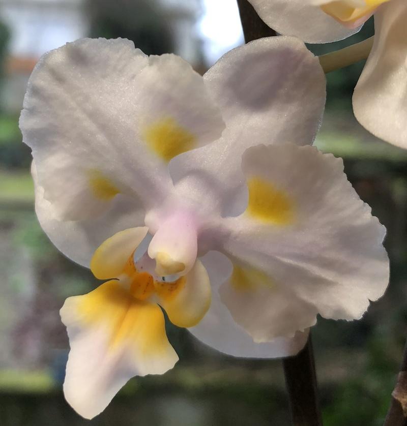 Orchideen-Neuzugang - Seite 40 Phal_p14