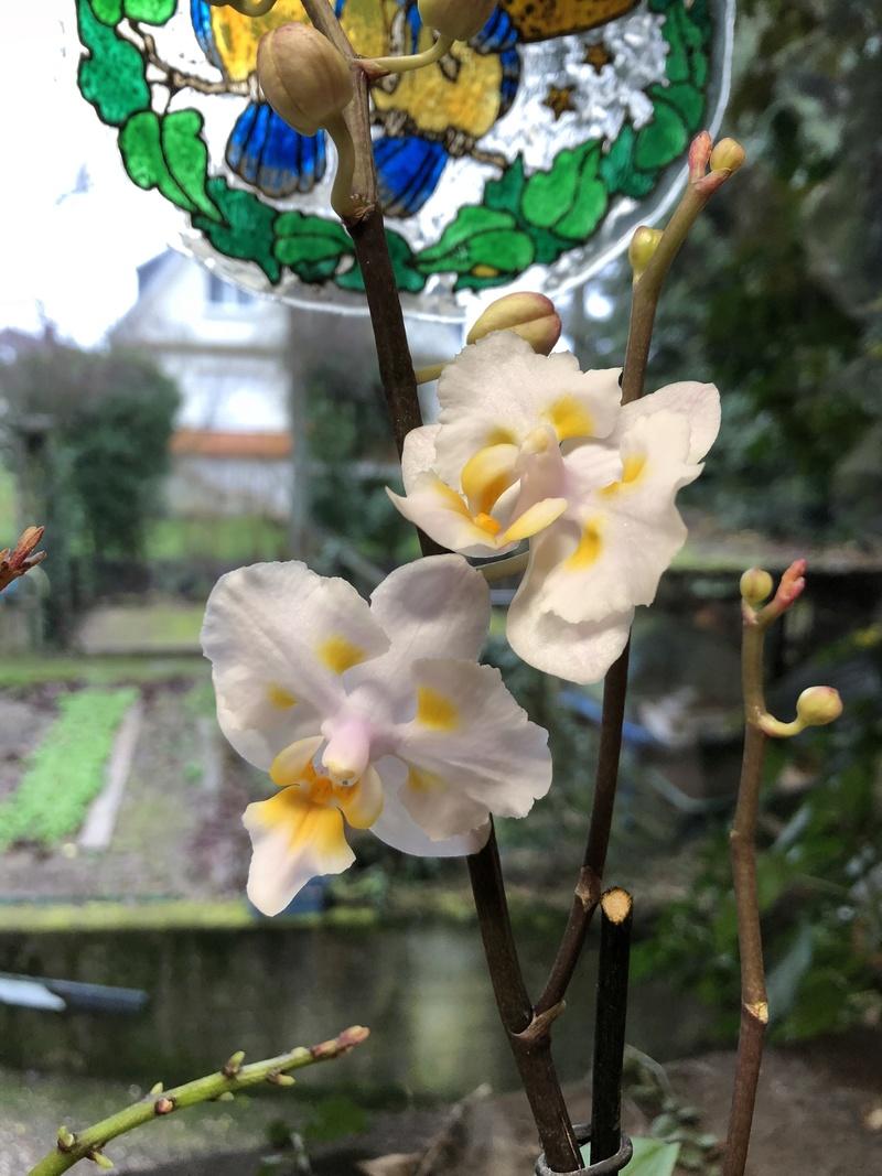 Orchideen-Neuzugang - Seite 40 Phal_p15
