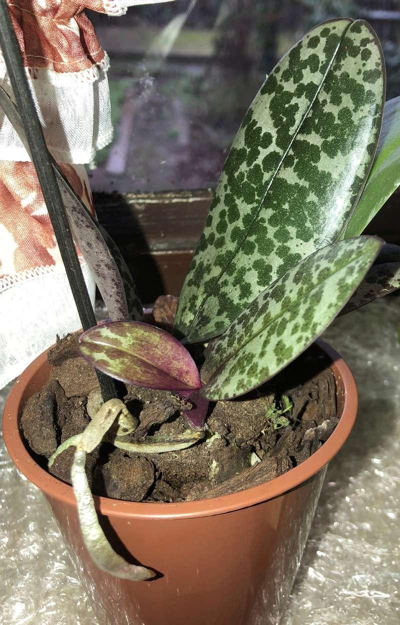 Orchideen-Neuzugang - Seite 40 Phal_s10
