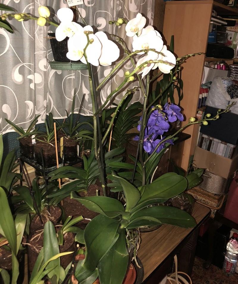 Orchideen-Neuzugang - Seite 41 Riesen10