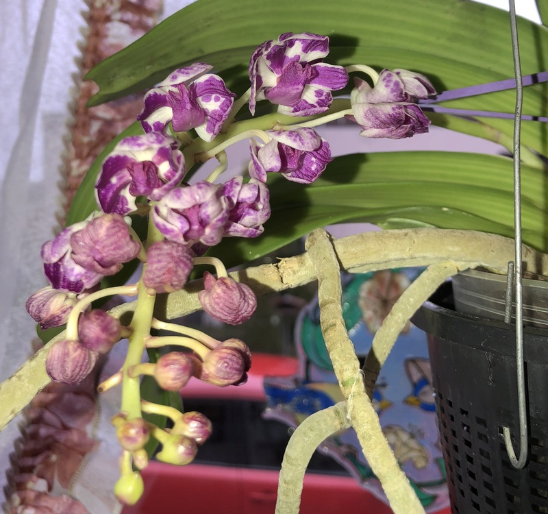 Orchideen-Neuzugang - Seite 40 Vanda_35