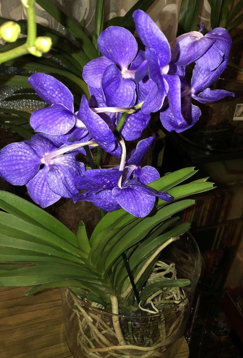 Orchideen-Neuzugang - Seite 41 Vanda_36