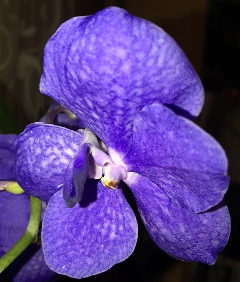 Orchideen-Neuzugang - Seite 41 Vanda_37