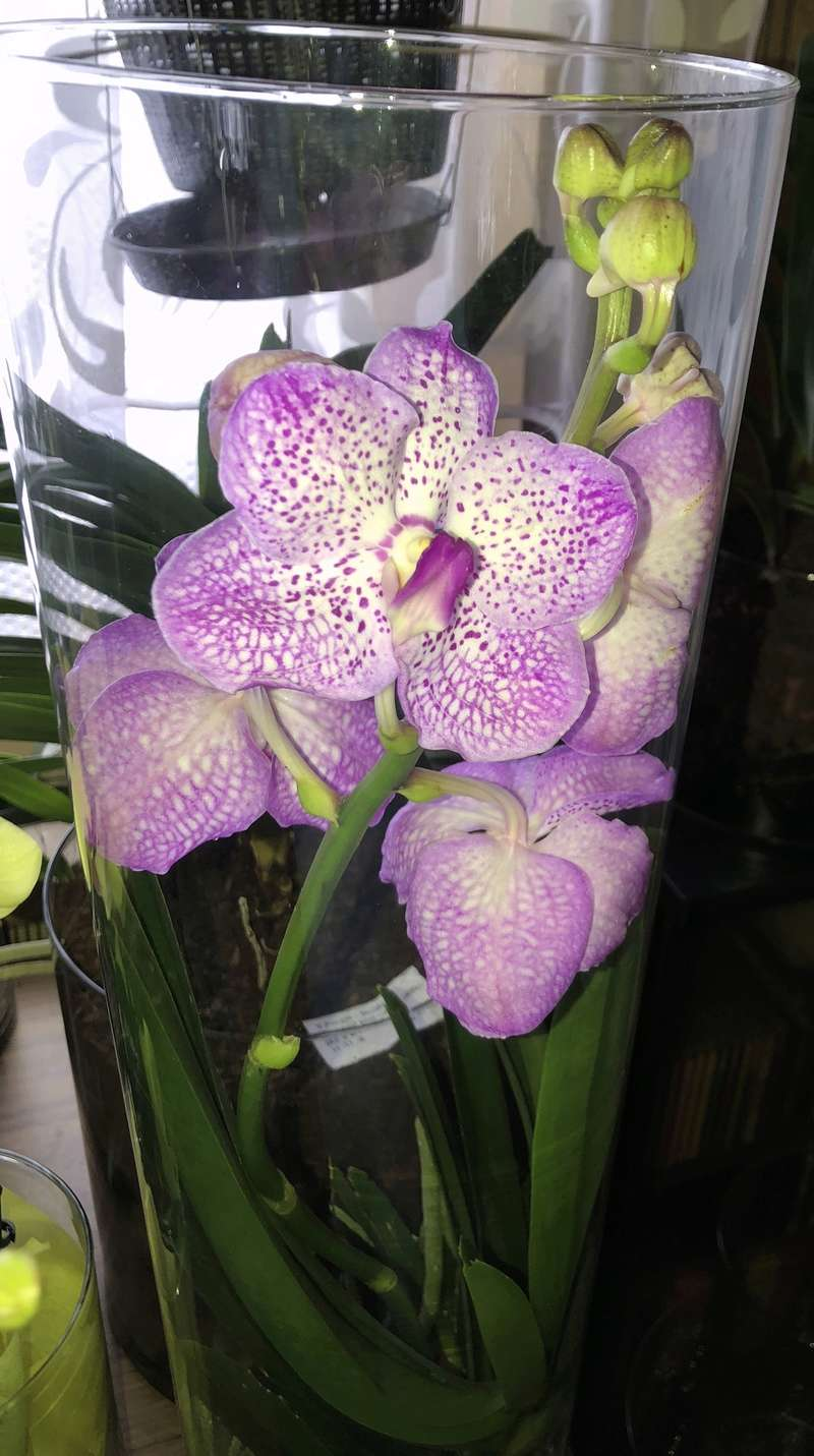 Orchideen-Neuzugang - Seite 41 Vanda_39