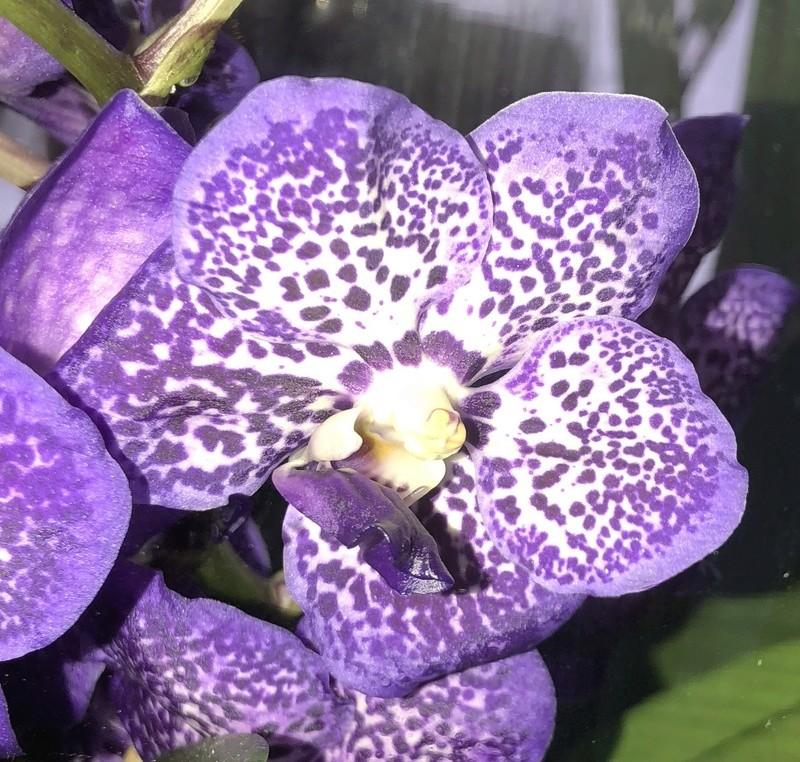 Orchideen-Neuzugang - Seite 41 Vanda_40